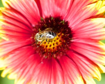 Bee on Flower Photograph