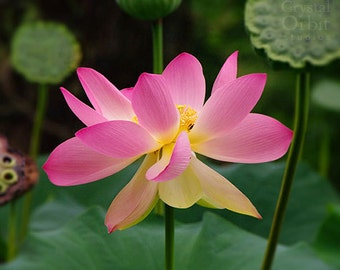 Flower Photography, Pink Lotus Flower, Nature Photography, Wall Art for Her, Pink, Yellow, Green, Bedroom Wall Art