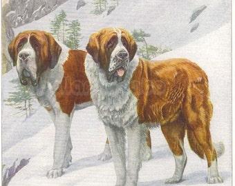 1919 Print SAINT BERNARD DOGS by Louis Agassiz Fuertes St Bernard