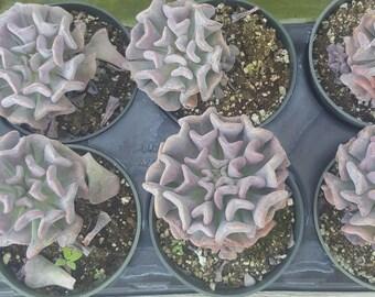Succulent - Purple