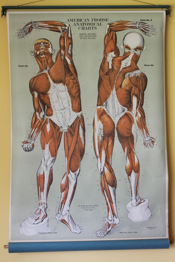 American Frohse Human Anatomy Wall Chart Plate 2