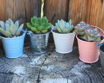 """90 DIY Lovely Wedding Collection Succulents in 2"""" containers with Adorable Pails - Your Choice of Color- Party FAVOR Kit succulent gifts*"""
