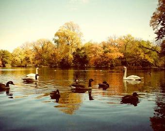 Autumn Photograph - Autumn Lake - Swan Geese Duck - Autumn Lake Scene - Landscape - Fall Foliage - Nature Photograph