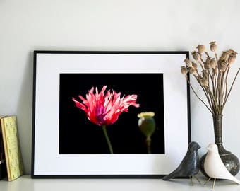 Poppy, Photographic Print, 5x7, 8x10