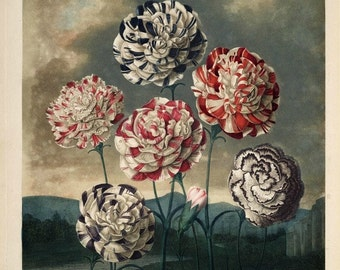 antique colorful carnations flowers illustration DIGITAL DOWNLOAD