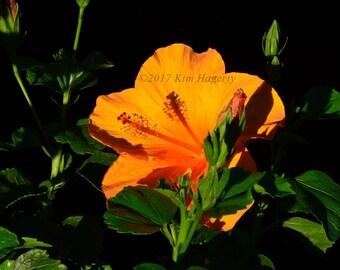 Hibiscus 0396 Orange