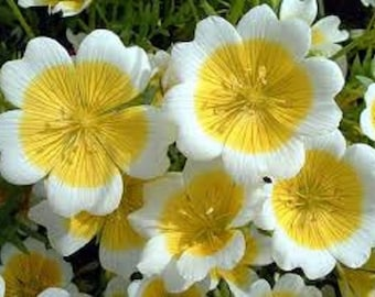 Poached Egg Plant Flower Seeds / Limnanthus Douglasii / Annual 50+