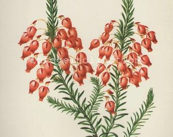 Antique Flower print Heath flower bookplate, vintage botanical flowers bookplate art print, red flowers wall print wall art