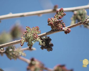 Closeup of Blossoming Shagbark Tree High Sun Photograph by Colleen