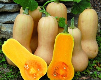 Organic Butternut Squash Seeds