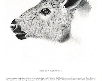 Vintage Audubon Animal Print - Head of Buffalo Calf - 1951 Vintage Book Page - Black and White