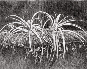 Tillandsia Plant,Everglade art,pen and ink drawing,tropical art,Everglade prints,flora and fauna prints,everglades art,fern art,original art