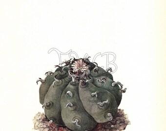 Cactus Print, Botanical Print, Art Print, Home Decor, Book Plate, Antique Illustration, 1970s, Wall Decor, Lophophora williamsii, A-14