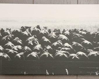 11x17 B&W Cattle on Fence