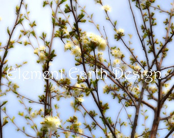Cherry Blossom, Instant Download, 11x14, Digital Printable, Fine Art Digital Photo, Photography, landscape