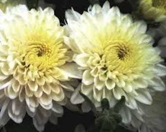 PBCHR) BRIDAL ROBE Chrysanthemum~Seed!!~~~~~~~Pristine & Fragrant!