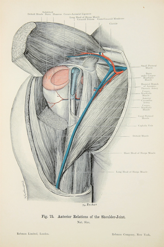 Funky Shoulder Nerves Anatomy Adornment - Anatomy And Physiology ...