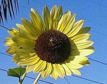 Sunflower Seeds, Carmel Hybrid var. Infinity Bloom, Postcard