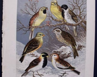 1874 Buntings: Snow, Lapland, Yellow-Hammer, Ortolan. Antique Bird Print. Lithograph by Adams. Original Vintage Print