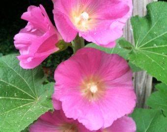 Pink Hollyhocks Old Fashioned- Cottage Style Garden~Heirloom Variety 75+ seeds  week-end SALE