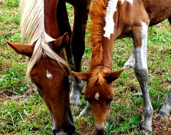 Chincoteague Ponies Horse Photography