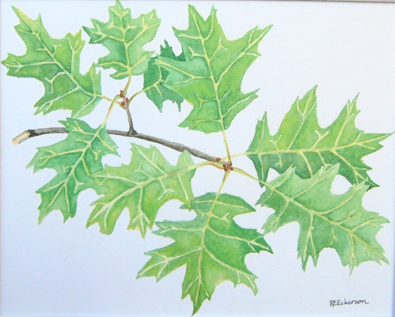 8 x 10 rama de árbol de roble acuarela lámina acuarela árbol