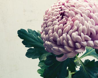Chrysanthemum Pink; fine art photography, modern, wall art, floral photography, floral, art, photo, botanical, pink floral by F2images