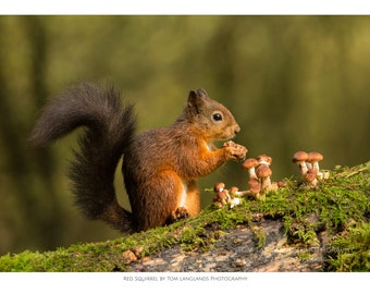 Red Squirrel - with Toadstools