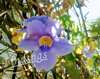 Bengal Trumpet. Photograph, Digital Art, Instant Download, Bengal Clock Vine, Purple, Sunny, Large-flowered Thunbergia