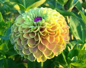 Lime Blush Zinnia Seeds, Cut Flower Garden Favorite, 25 Seeds of Queen Lime Blush Zinnia
