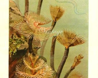 Vintage Ocean Sea Creatures Print 1900, antique lithograph