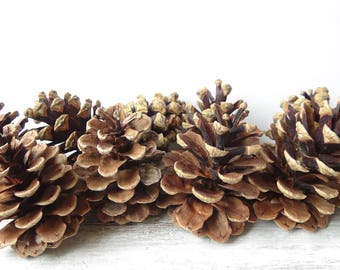 Big pine cones,7-9cm pine cones,Large Pinecone,Pinecone,Wedding Pine Cone,Pine Cone supply,Pine Cone Decor,real pine cones,natural pinecones