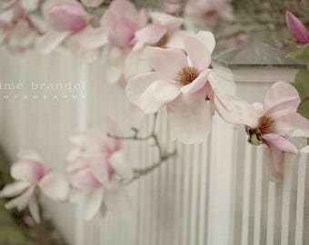 Photography print: magnolia, white picket fence, spring, flowers, fine art print