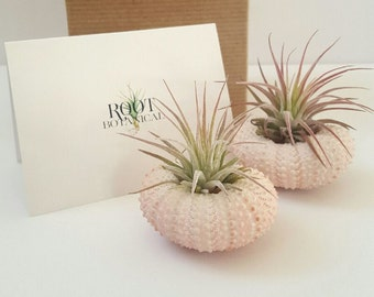 "Two Air Plants Mounted in Pink Urchin Shell, Tillandsia ""Ionantha"" in Urchin Shells, Gift Box, Desk Plant"