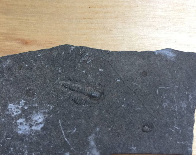 USA Cambrian Trilobite fossil in Matrix Small  No. 002
