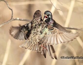 Starlings Photo | Nature Wall Art | Home Office Decor | Fighting Birds Art | FeatherWindStudio | Birds Playing | European Starling Print