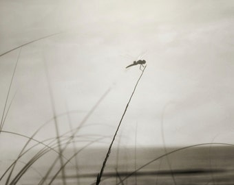 Dragonfly Photograph, Beach dragonfly, Dark Gray Nature Print, Dragonfly Seascape Photograph 8x10 and up