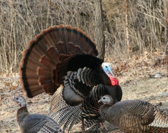 Turkey Photo, Bird Photo, Gift for Hunter, Nature Lover, Wildlife, Animal Photo, Nature Photo, Matted Photo