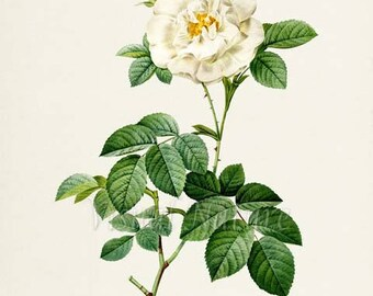 Alba Rose Flower Art Print, Botanical Art Print, Flower Wall Art, Flower Print, Floral Print, White Rose of York