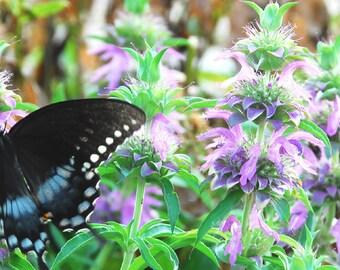 Bergamot Seeds, Lemon Mint Seed, Herb Garden Favorite, Lemon Bergamot for Butterfly Garden, Container Garden, Fragrant Garden Plant