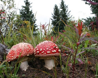 Amanita Duo 8 x 10 Fine Art Photograph
