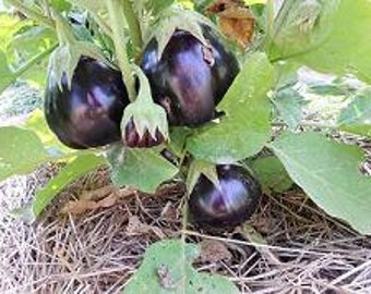 Eggplant Plant, Tonda de Manfrdonia Heirloom Organic