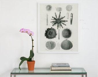 sea urchin archival print, sea urchin art print, antique sea shell print, seashell plate, natural history print, beach house art, wall art