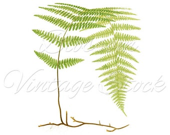 Fern Botanical Print, Vintage Ferns, Leaves  Wall decor, Green Fern, PNG Leaves Digital Antique Illustration  INSTANT DOWNLOAD - 1910