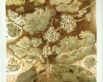 LICHEN Vintage Botanical Print Antique, plant print 53 botanical print, bookplate art print, herb plants plant wall print