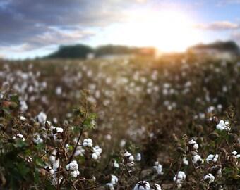 Cotton Field Digital Backdrop