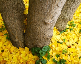 Ginkgo Tree Print - Nature Photography - Autumn in London - Yellow Leaves