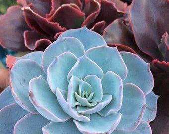 Echeveria Subsessilis/Medium plant/Succulent plant/succulents/indoor plant/Succulent garden/succulent arrangement/live plants/cactus