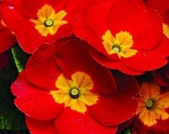 Crimson Fairy Primrose Flower Seeds / Primula Malacoides / Perennial 50+