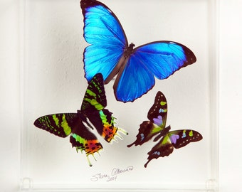 "7 x 7 x 3"" deep Blue Morpho Display"